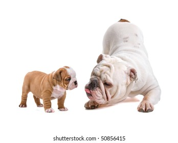 English bulldog and a puppy isolated on a white background