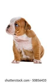 English bulldog puppy isolated on a white background
