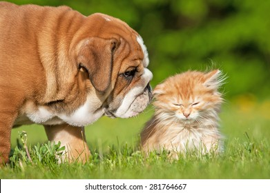 English bulldog puppy with a little kitten