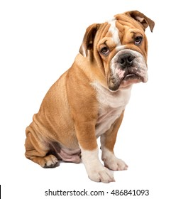 English bulldog puppy looking at camera isolated on white background