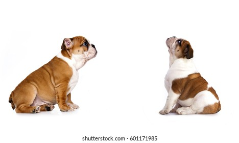 English bulldog puppy is looking up, side view, profile