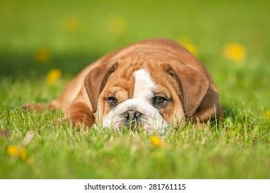 English bulldog puppy lying on the lawn