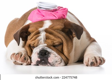 english bulldog puppy with pink water bottle on head on white background