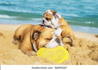 English Bulldog and a puppy are playing on the beach with a freezbie