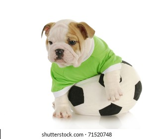 english bulldog puppy playing with stuffed soccer ball on white background