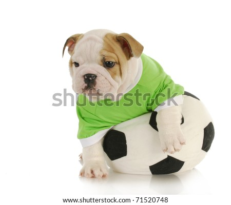 English Bulldog Puppy Playing Stuffed Soccer Stock Photo Edit Now
