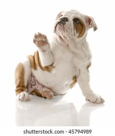 english bulldog puppy sitting holding paw up to viewer