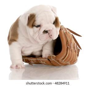 english bulldog puppy sitting inside leather baseball glove with reflection on white background
