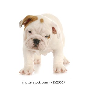 english bulldog puppy standing on white background - eight weeks old