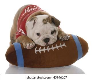 english bulldog puppy with stuffed football - nine weeks old