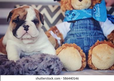 english bulldog puppy with teddy bear