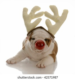 english bulldog with red nose dressed as rudolph
