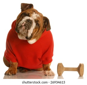 english bulldog in red sweater with dog training dumbbell