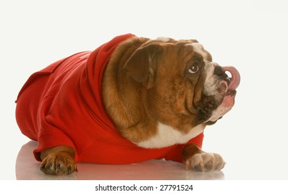 english bulldog in red sweater licking lips