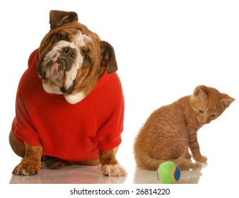 english bulldog in red sweater and orange tabby kitten playing with ball