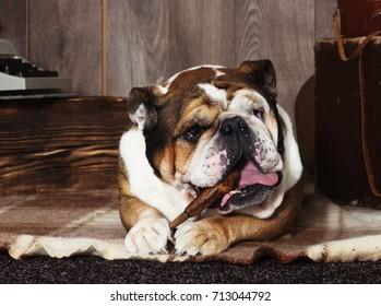 english bulldog retro style
