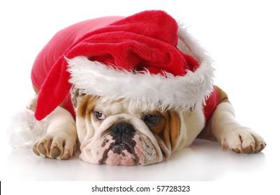 english bulldog with sad expression dressed up like santa claus with reflection on white background