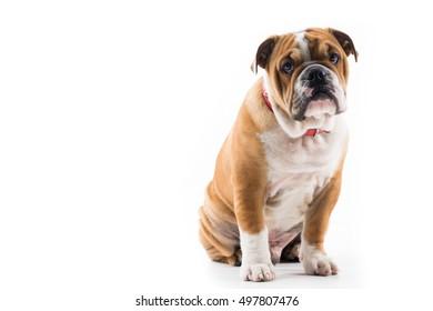 English Bulldog sitting against a dark background