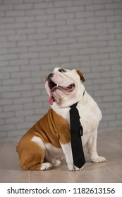english bulldog sitting in business tie in studio with brick wall on background
