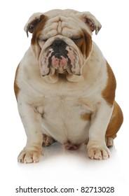 english bulldog sitting with eyes closed on white background - 2 years old