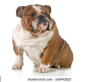 english bulldog sitting looking to the side isolated on white background