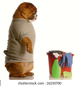 english bulldog standing up beside bucket and cleaning supplies - janitor