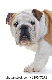 English bulldog standing in front of white background, closeup, looking at camera