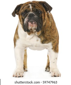 english bulldog standing isolated on white background