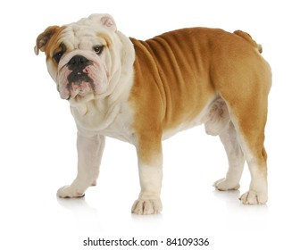 english bulldog standing looking at viewer on white background