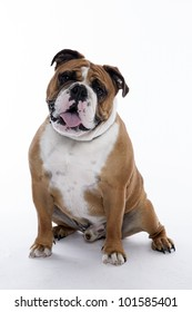 english bulldog standing on white background
