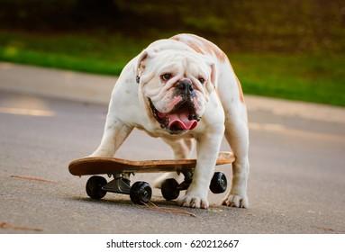 English Bulldog trying to get on skateboard