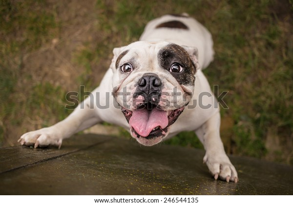 English bulldog trying to reach cookie