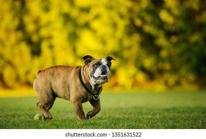 English Bulldog walking through park