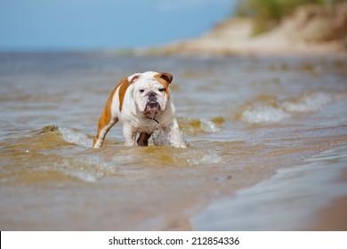 english bulldog in the water