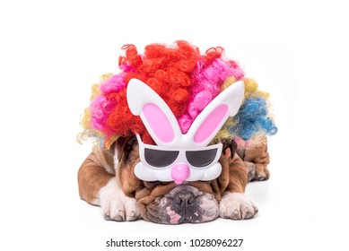 English bulldog wearing bunny mask and clown wig,Easter concept