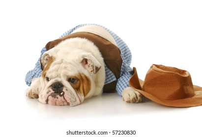 english bulldog wearing cowboy shirt laying down beside western hat on white background