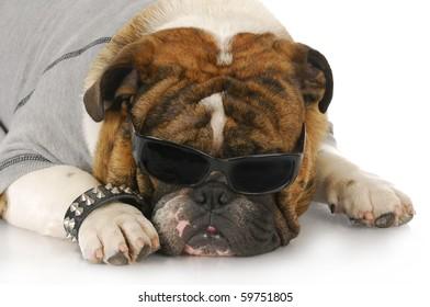 english bulldog wearing grey shirt and dark sunglasses with reflection on white background