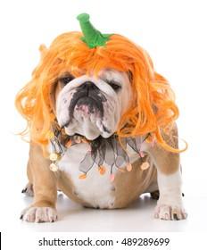 english bulldog wearing pumpkin costume on white background