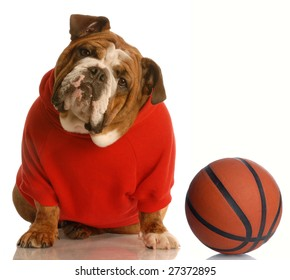 english bulldog wearing red sweatsuit with basketball