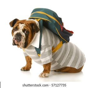 english bulldog wearing striped shirt and back pack sitting with reflection on white background