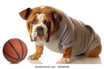 english bulldog wearing sweatsuit with basketball isolated on white background