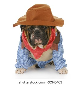 english bulldog wearing western hat and cowboy shirt with reflection on white background
