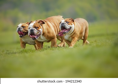 English Bulldogs dogs puppies playing outdoors in a field