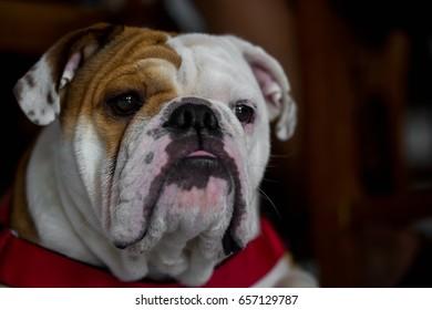 English Bulldogs are looking.