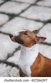 English bullterrier. Thoroughbred dog. Canine friend. Red dog.