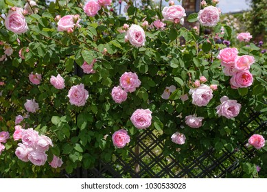 English climbing rose - Constance Spry