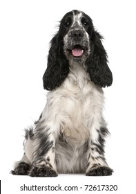 English Cocker Spaniel, 2 years old, sitting in front of white background