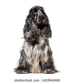 English Cocker Spaniel , 4, 5 years old, sitting against white background