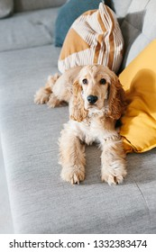 English cocker spaniel 5 month puppy lying on sofa at home. Raising a dog puppy