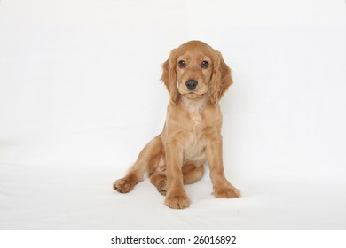English cocker spaniel baby dog-two month
